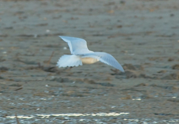 Ross's Gull  A bit out of focus, but clearly shows the diagnostic wedge shaped tail.