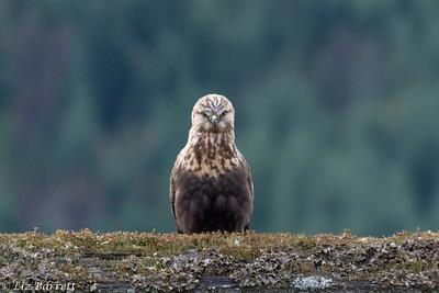 _J3A4525 Rough-legged Hawk