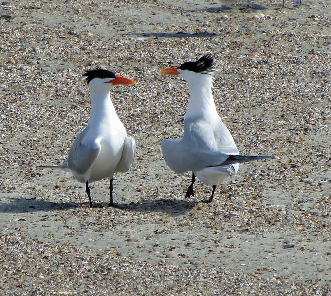 Royal Terns (breeding)<br /> Tybee Island