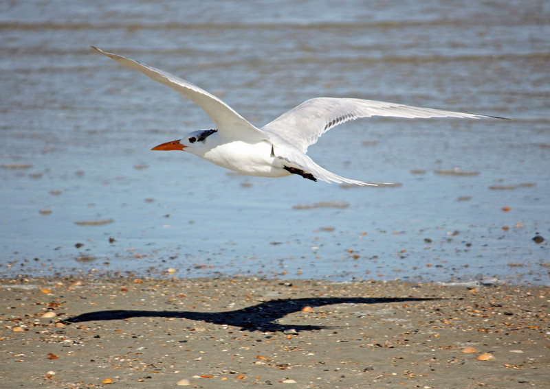 Royal Tern (non-breeding)<br /> Tybee Island