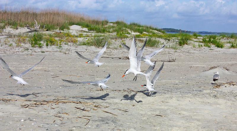Royal Terns (breeding) ready for take-off<br /> Tybee Island