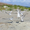 Royal Terns (breeding) ready for take-off<br /> Tybee Island
