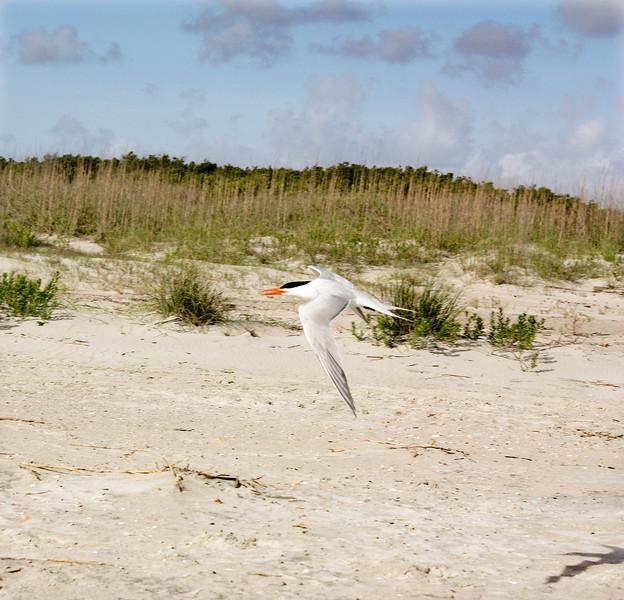 Royal Tern (breeding)<br /> Tybee Island