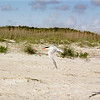 Royal Tern (breeding)<br /> Tybee Island