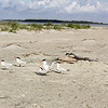 Royal Terns (breeding)<br /> Tybee Island