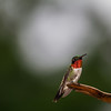 Male Ruby Throated Hummingbird taken 7/29/13 in Marion County Missouri.