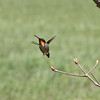 Ruby-Throated Hummingbird (Male)