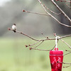 Ruby-Throated Hummingbird (Female) Ruby-Throated Hummingbird (Female)