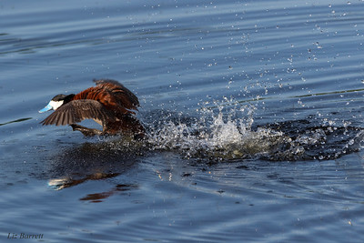 Ruddy_Duck Attack_0U2A4329