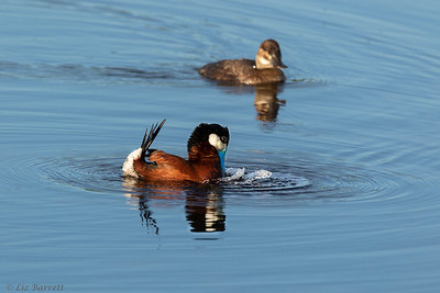 0U2A3818_Ruddy Duck