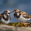 Ruddy Turnstone (Arenaria interpres) :
