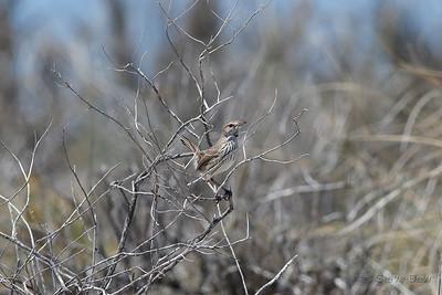 Rufous Fieldwren