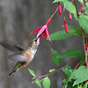 Rufous Hummingbird<br /> 02 AUG 2011