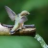 Rufous Hummingbird<br /> 11 JUN 2011