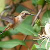 Rufous Hummingbird<br /> 25 JUN 2012