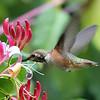 Rufous Hummingbird<br /> 02 AUG 2011