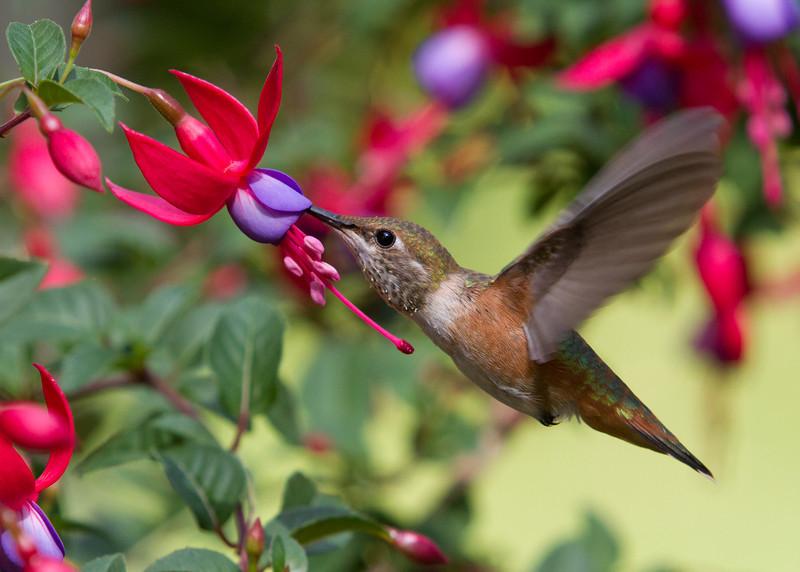 Rufous Hummingbird<br /> 08 JUN 2013