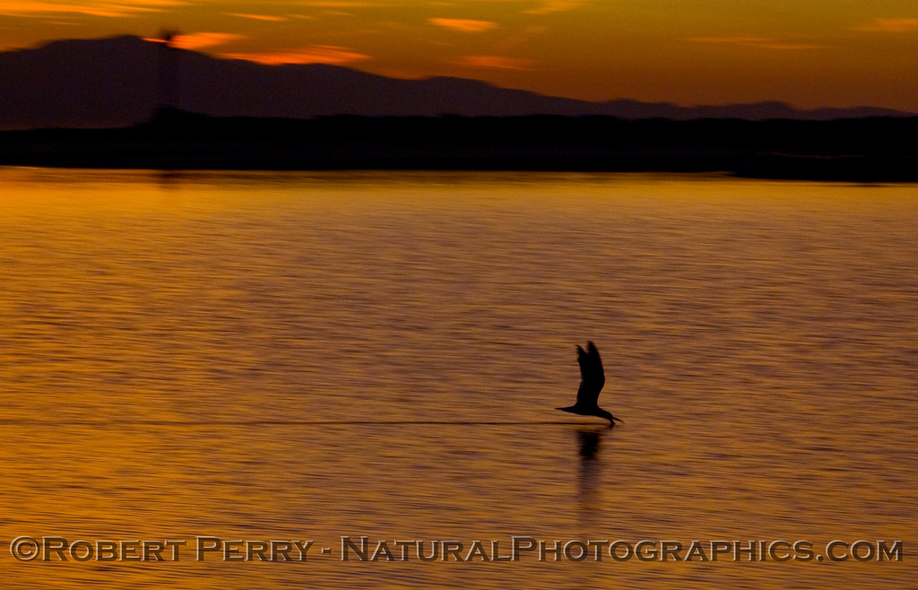 sunrise Rynchops niger 2009 03-01 SB Harbor - 1092modCROP_01