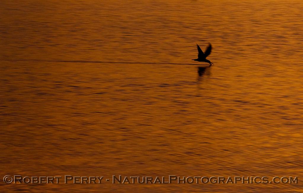 sunrise Rynchops niger 2009 03-01 SB Harbor - 1089modCROP