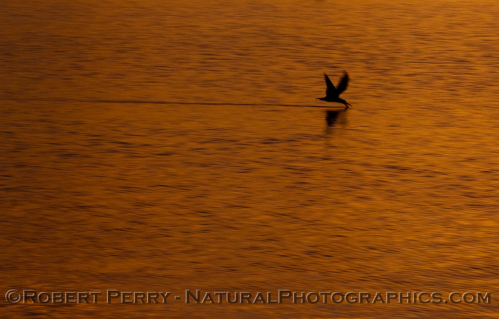 sunrise Rynchops niger 2009 03-01 SB Harbor - 1089modCROP_01