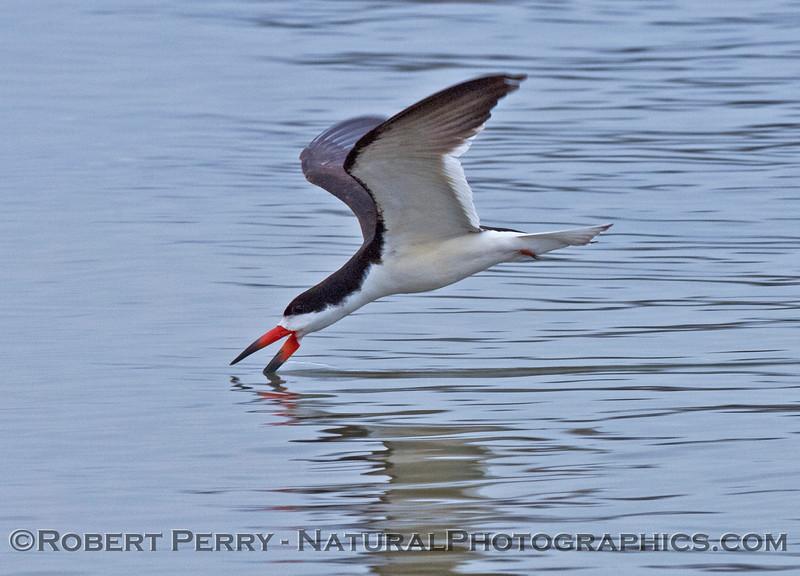 Rhynchops niger skimming 2006 04-29 Sta Barb Hbr--006