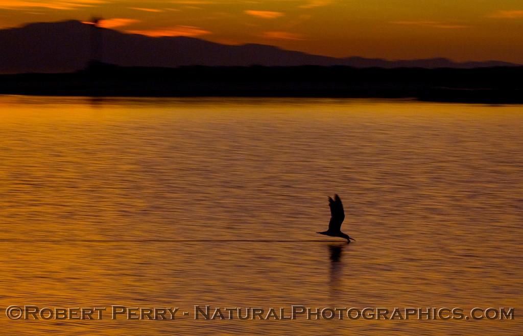 sunrise Rynchops niger 2009 03-01 SB Harbor - 1092modCROP