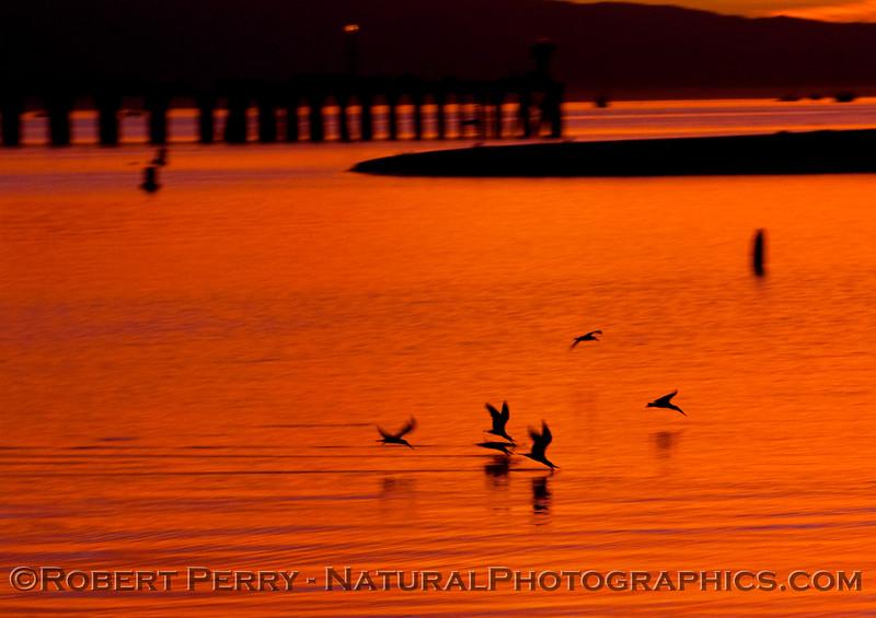 sunrise Rynchops niger GROUP 2009 03-01 SB Harbor - 1011modCROP_01