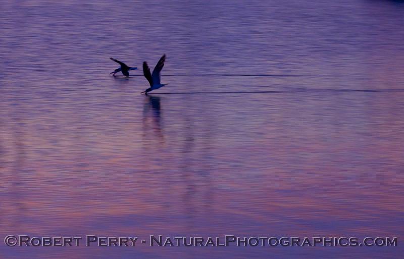sunrise Rynchops niger skimming 2009 03-01 SB Harbor - 1075modCROP