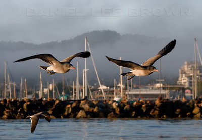 "Heerman's Gulls with the Monterey Harbor and the Coast Guard jetty in the background. Photographed from aboard a ""Monterey Seabirds"" vessel."