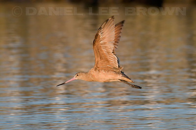 Marbled Godwit. Photographed at Moss Landing.