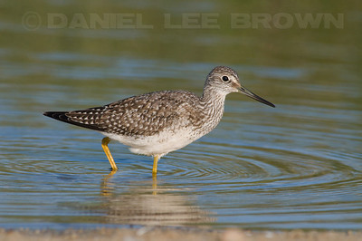 Greater Yellowlegs. Photographed at the mouth of the Carmel River State Beach..
