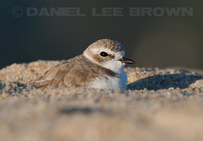 Snowy Plover. Photographed at the Carmel River State Beach.