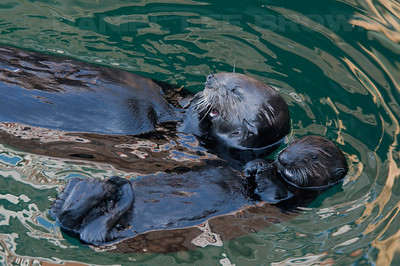 Sea Otters, Adult and young. Photographed from Fisherman's Wharf, Monterey.