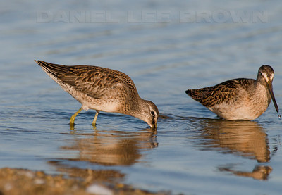 Dowitchers, Long-billed on the left and Short-billed on the right (I think?). Photographed at the Carmel River State Beach.