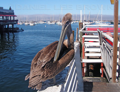 Immature Brown Pelican. Photographed at Fisherman's Wharf, Monterey.