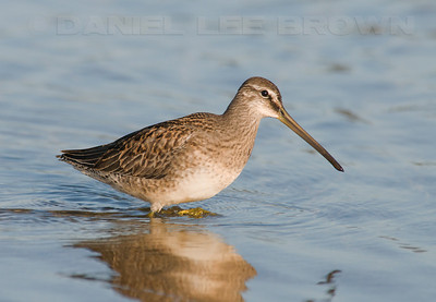 Long-billed Dowitcher. Carmel River State Beach.