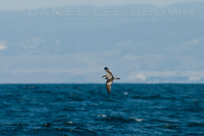 "Buller's Shearwater.    This is a heavily cropped image. Photographed from aboard a ""Monterey Seabirds"" vessel, 9-26-09."