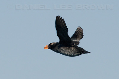 "Tufted Puffin.   This is a heavily cropped image. Photographed from aboard a ""Monterey Seabirds"" vessel, 9-26-09."