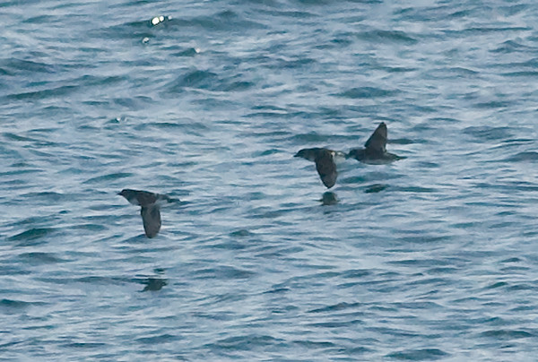 Cassin's Auklet's