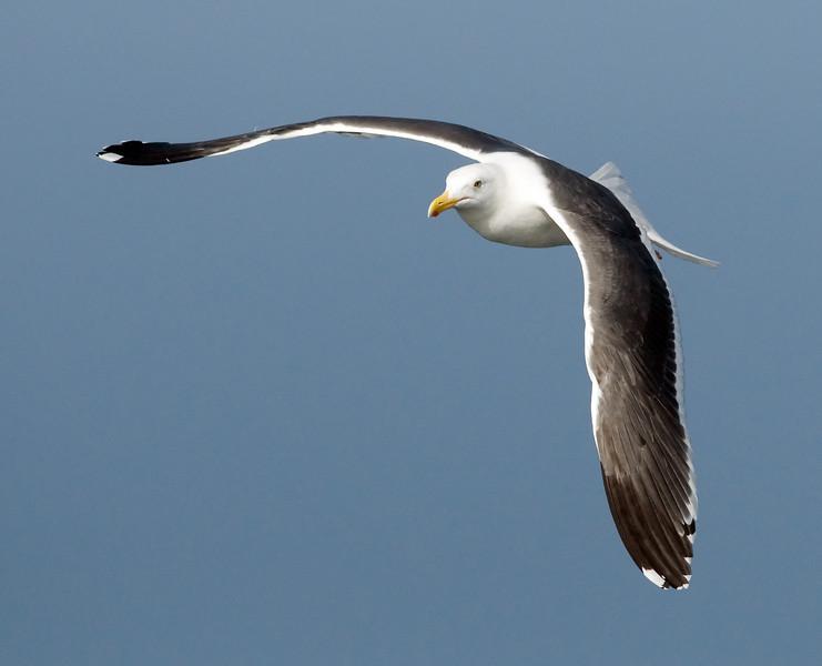 Western Gull