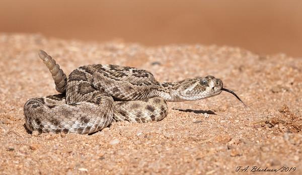 Western Diamonback Rattlesnake