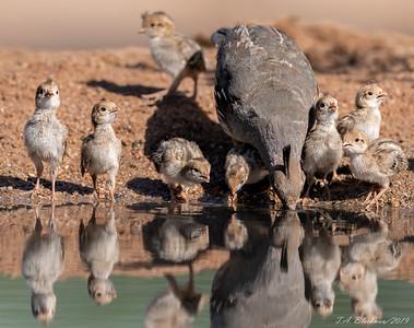 Gambell's Quail w Chicks