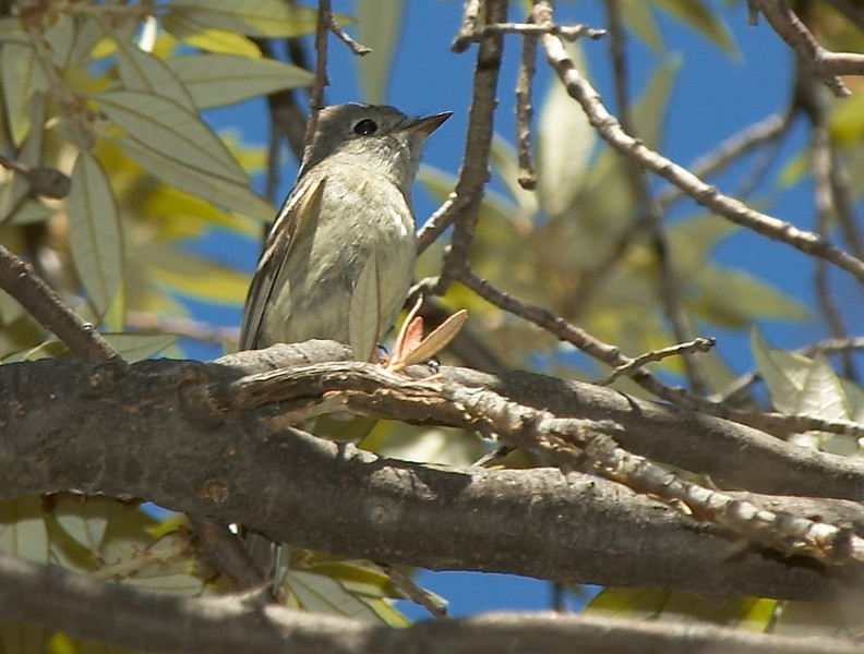 Hammond's Flycatcher?