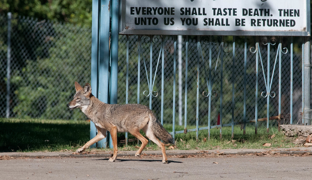 Close encounter with a Coyote