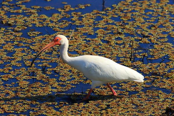 White Ibis - Euphala, GA - April 2017