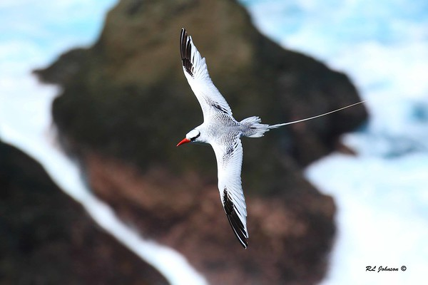 Red-billed Tropicbird - Little Tobago Island - December 2016