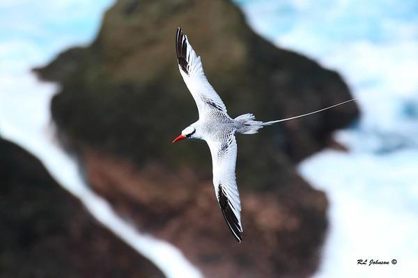 Red-billed Tropicbird - Little Tobago Island - December 2016