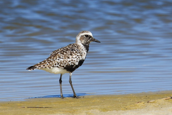 Black-bellied Plover - Dauphin Island, AL - April 2017