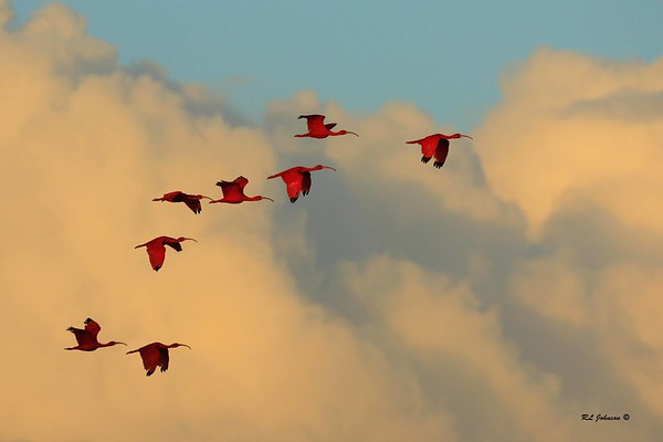 Scarlet Ibis - Caroni Bird Sanctuary, Trinidad - December 2016