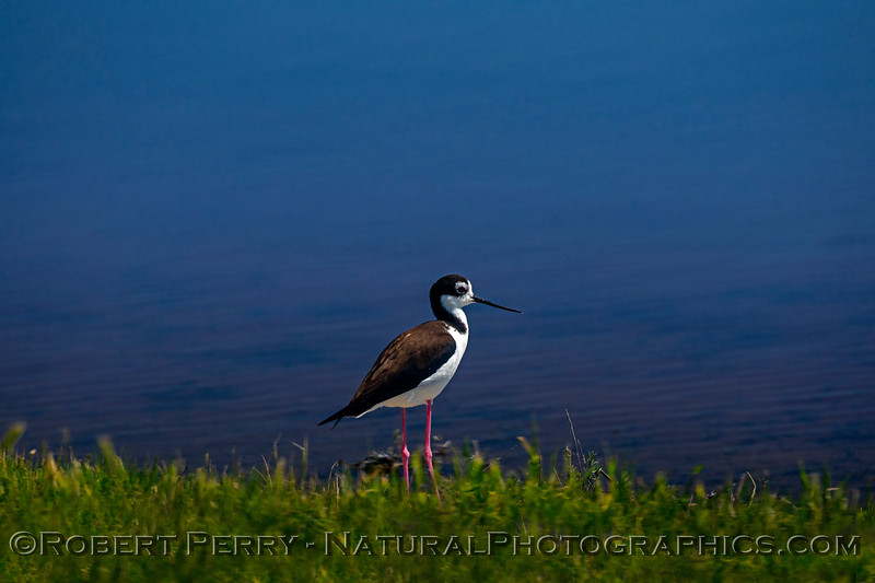 Himantopus mexicanus Black-necked stilt 2019 03-19 San Luis NWR--010